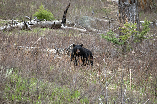 black bear in Yellowstone National Park - spring 2011