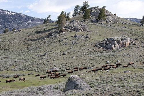 migrating bison herd