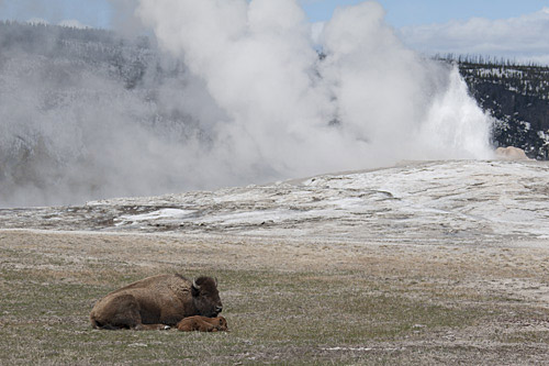 bison cow and newborn calf in front of Old Faithful