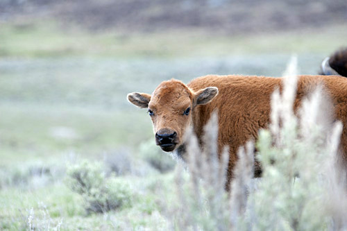 bison calf in Yellowstone National Park - spring 2011