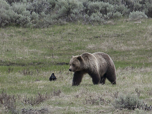 grizzly bear in Yellowstone National Park - spring 2011